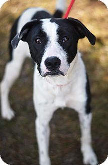 Border Collie Mix Dog for adoption in Springfield, Illinois - Athena