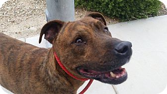 Pit Bull Terrier Mix Dog for adoption in Las Vegas, Nevada - Jerome