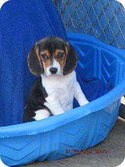 Beagle Puppy for adoption in Oswego, New York - Emily