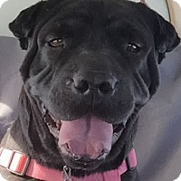 Adopt A Pet :: Savannah - Barnegat Light, NJ