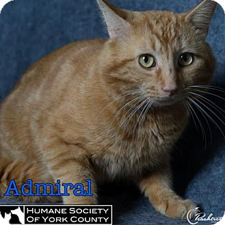 Domestic Mediumhair Cat for adoption in Fort Mill, South Carolina - Admiral