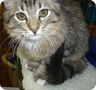 Domestic Mediumhair Cat for adoption in Tehachapi, California - Oliver
