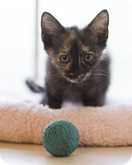 Domestic Shorthair Kitten for adoption in Houston, Texas - Layla