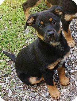 German Shepherd Dog Mix Puppy for adoption in New Oxford, Pennsylvania - Dallas