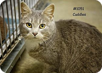 Domestic Shorthair Cat for adoption in Kendallville, Indiana - Cuddles