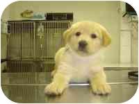 Labrador Retriever Mix Puppy for adoption in Brookville, Ohio - Morgan
