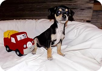 Chihuahua Mix Puppy for adoption in Wellesley, Massachusetts - Tank