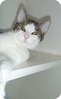 Domestic Shorthair Cat for adoption in Hamburg, New York - Marshall