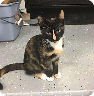 Domestic Shorthair Kitten for adoption in Lombard, Illinois - Aurelia