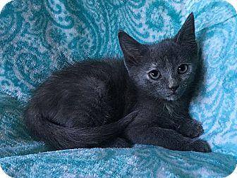 Domestic Shorthair Kitten for adoption in Tampa, Florida - Autumn