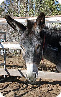 Donkey/Mule/Burro/Hinny for adoption in Phelan, California - Moe