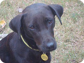 Labrador Retriever Mix Dog for adoption in Houston, Texas - Mamma Bella
