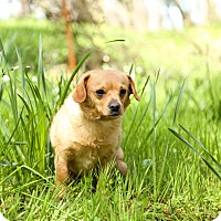 Adopt A Pet :: Sunny - Auburn, CA