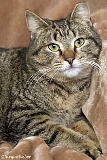 Domestic Shorthair Cat for adoption in St Louis, Missouri - Lafayette