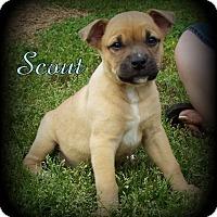 Adopt A Pet :: Scout - Denver, NC