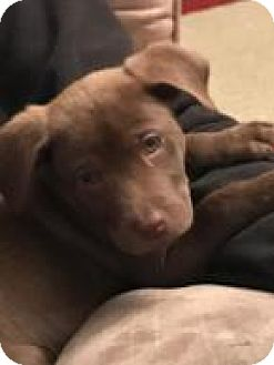 Labrador Retriever Mix Puppy for adoption in Columbia, Maryland - Max