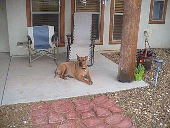 Pit Bull Terrier/Boxer Mix Dog for adoption in dewey, Arizona - Big Boy