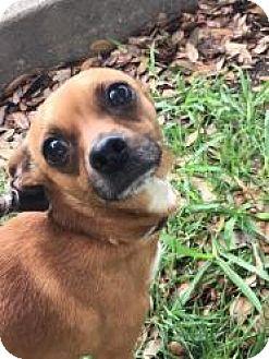 Dachshund Mix Dog for adoption in Dallas, Texas - Ernie