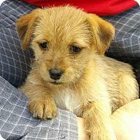 Adopt A Pet :: Cleo-adoption pending - Schaumburg, IL