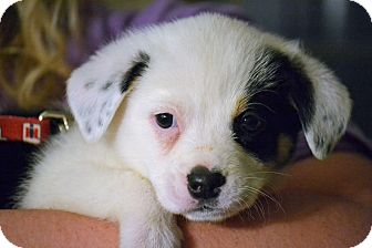 Australian Shepherd/Border Collie Mix Puppy for adoption in Staunton, Virginia - Snow