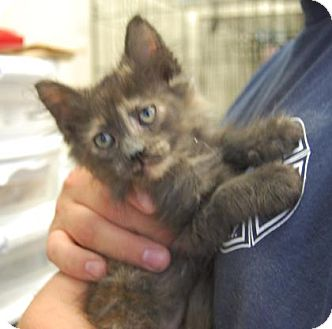 Domestic Shorthair Kitten for adoption in Brooklyn, New York - Snickers