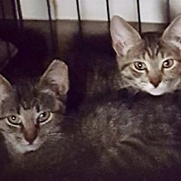 Domestic Shorthair Cat for adoption in San Antonio, Texas - Dylan and Maddie