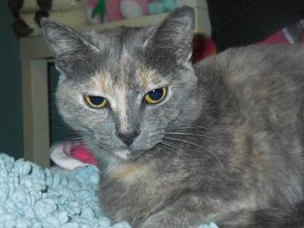 Domestic Shorthair/Domestic Shorthair Mix Cat for adoption in Whiting, Indiana - Robin