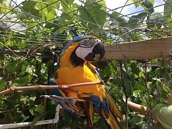 Macaw for adoption in Elizabeth, Colorado - Parker