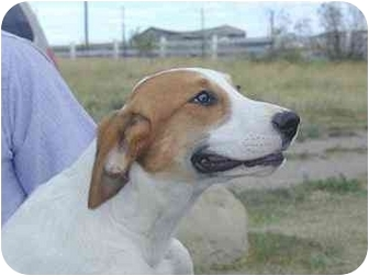Pointer Mix Dog for adoption in Roundup, Montana - Sadie