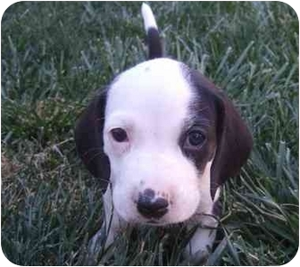 Beagle Mix Puppy for adoption in Tracy, California - Amelia
