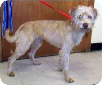 Poodle (Miniature)/Labrador Retriever Mix Puppy for adoption in Buffalo, New York - Corduroy: Apricot Labradoodle