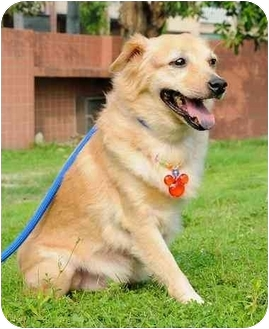 Pomeranian Mix Dog for adoption in Vancouver, British Columbia - Meesha - Pending