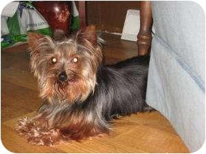 Yorkie, Yorkshire Terrier Dog for adoption in North Benton, Ohio - Rosie