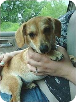 Dachshund/Chihuahua Mix Puppy for adoption in Windham, New Hampshire - Chadder