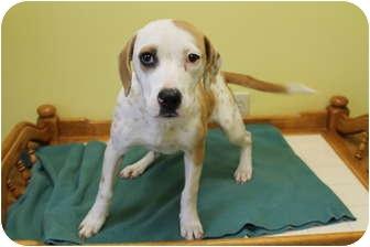 Black and Tan Coonhound/Labrador Retriever Mix Dog for adoption in Rockingham, North Carolina - Chablis