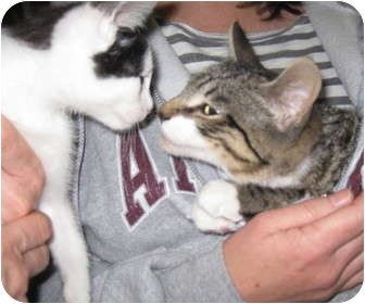 Domestic Shorthair Kitten for adoption in Randolph, New Jersey - Emmit - super sweet