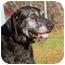 Photo 1 - Labrador Retriever/German Wirehaired Pointer Mix Dog for adoption in Sacramento, California - Capt Black
