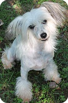Chinese Crested Dog for adoption in House Springs, Missouri - Beauty -A Treasure