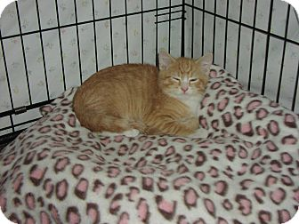 Domestic Shorthair Kitten for adoption in Speonk, New York - Manny