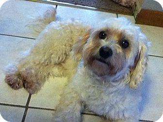 Maltese/Poodle (Miniature) Mix Dog for adoption in Plainfield, Illinois - Bouchra