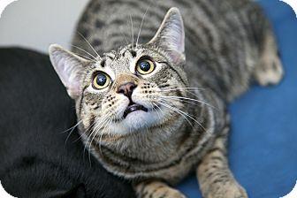 Domestic Shorthair Cat for adoption in Brooklyn, New York - Lennard