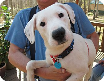 Labrador Retriever/Terrier (Unknown Type, Medium) Mix Puppy for adoption in Spring Valley, New York - Domino