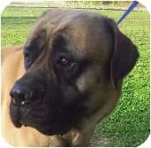 English Mastiff Dog for adoption in Flintstone, Maryland - Chief