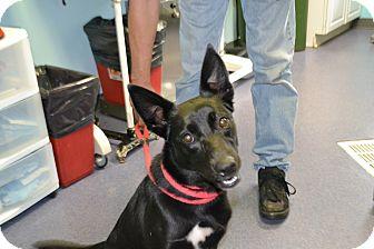 Border Collie Mix Dog for adoption in Edwardsville, Illinois - Denali