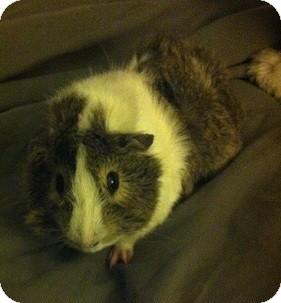 Guinea Pig for adoption in Cambridge, Ontario - Chester