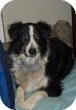 Australian Shepherd Dog for adoption in Las Vegas, Nevada - Tommy
