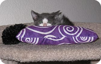 Domestic Shorthair Kitten for adoption in Arlington/Ft Worth, Texas - Mercury
