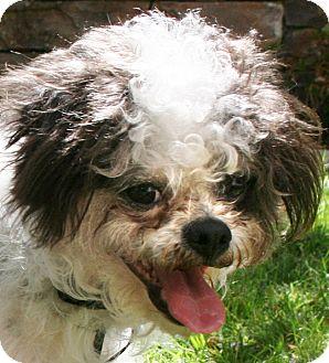 Poodle (Miniature)/Shih Tzu Mix Dog for adoption in Vista, California - Mr. Wiggles