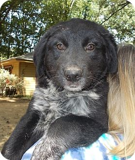 Retriever (Unknown Type) Mix Puppy for adoption in Memphis, Tennessee - Penelope