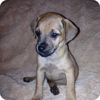 Beagle Mix Puppy for adoption in ST LOUIS, Missouri - Chip Douglas